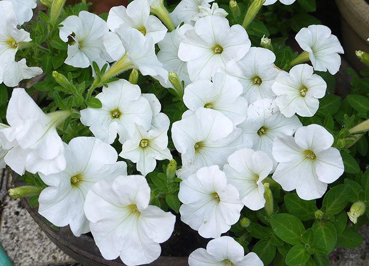 白のペチュニアが大量に咲いた2.jpg