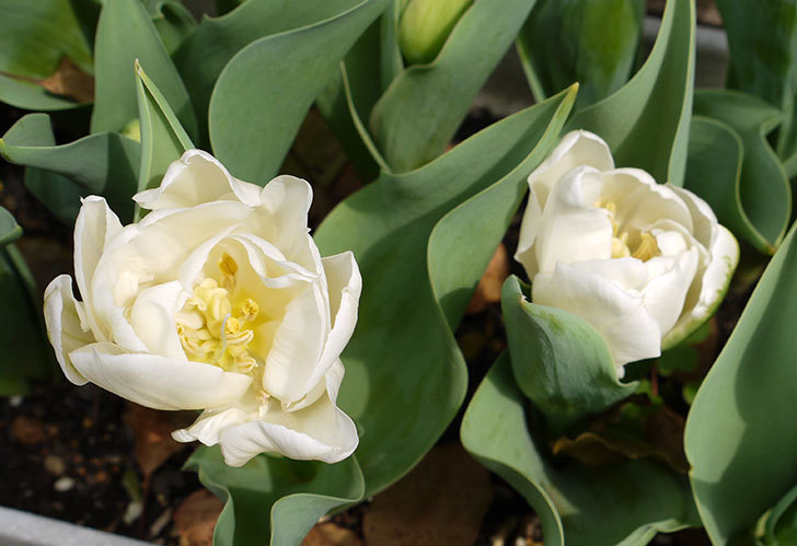 白の八重咲きチューリップが咲いた。2016年-1.jpg