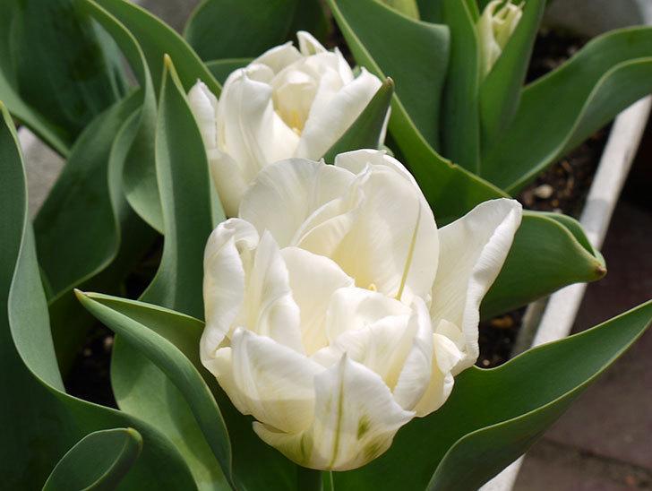 白の八重咲きチューリップが咲いた。2016年-2.jpg