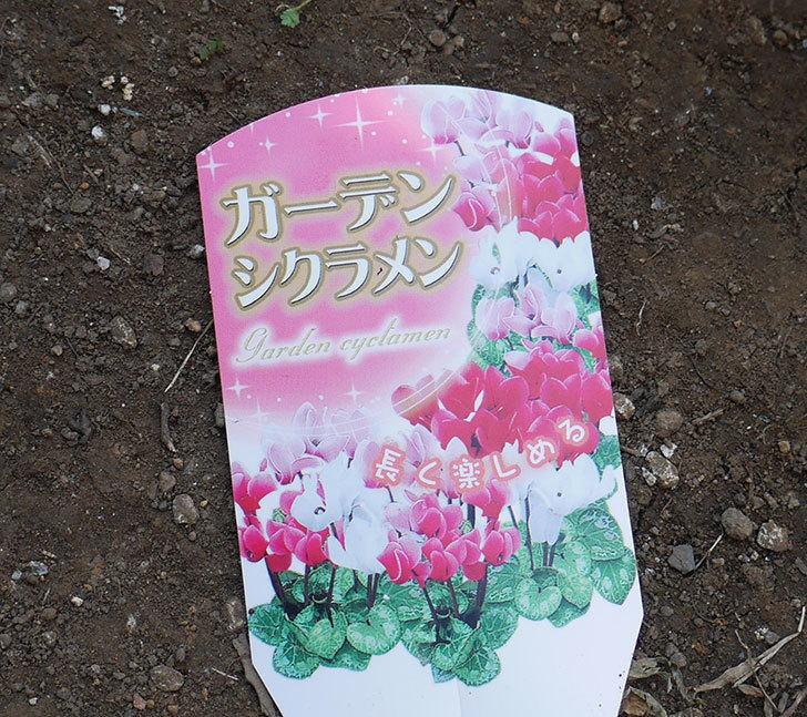 白ピンクのガーデンシクラメンの苗を2個ホームズで買って来た。2018年-3.jpg