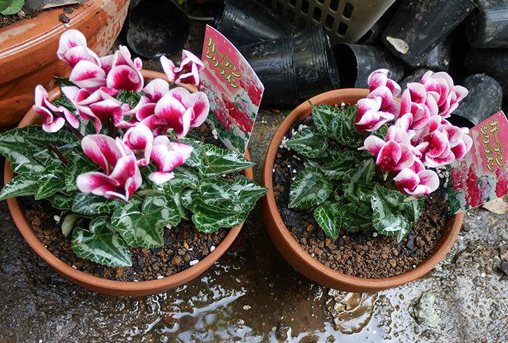 白ピンクのガーデンシクラメンの苗を鉢に植えた。2018年-1.jpg