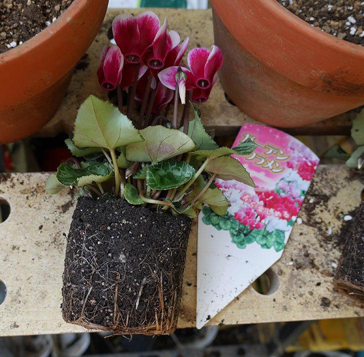 白ピンクのガーデンシクラメンの苗を鉢に植えた。2018年-2.jpg