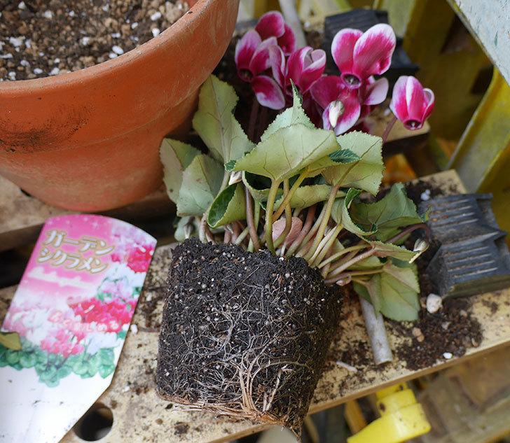 白ピンクのガーデンシクラメンの苗を鉢に植えた。2018年-3.jpg