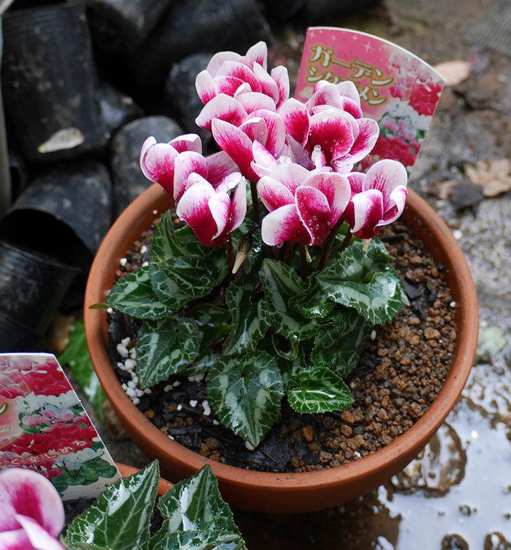 白ピンクのガーデンシクラメンの苗を鉢に植えた。2018年-6.jpg