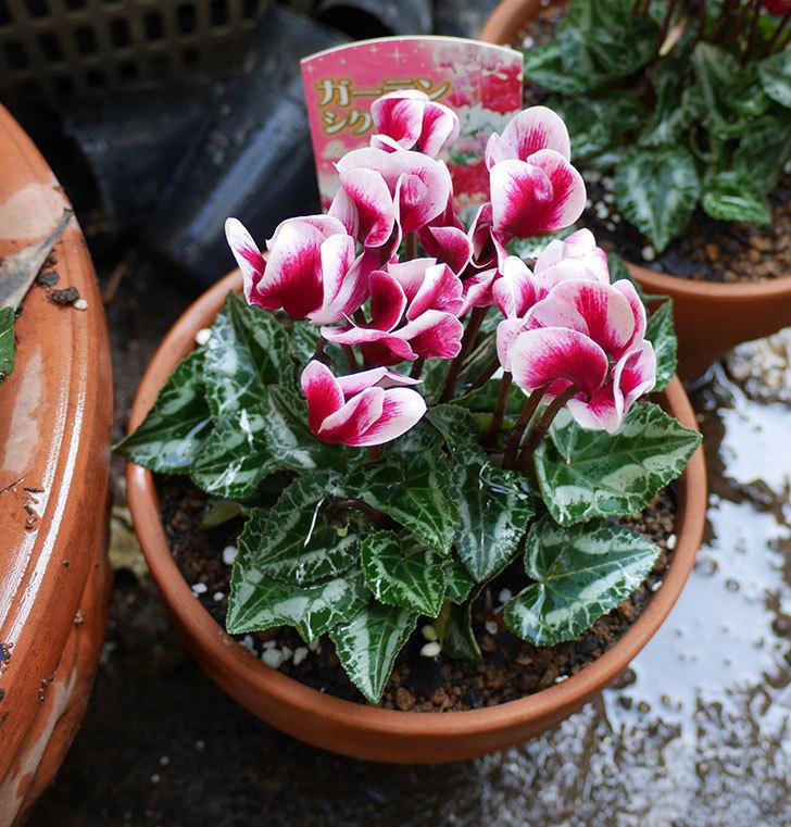 白ピンクのガーデンシクラメンの苗を鉢に植えた。2018年-7.jpg