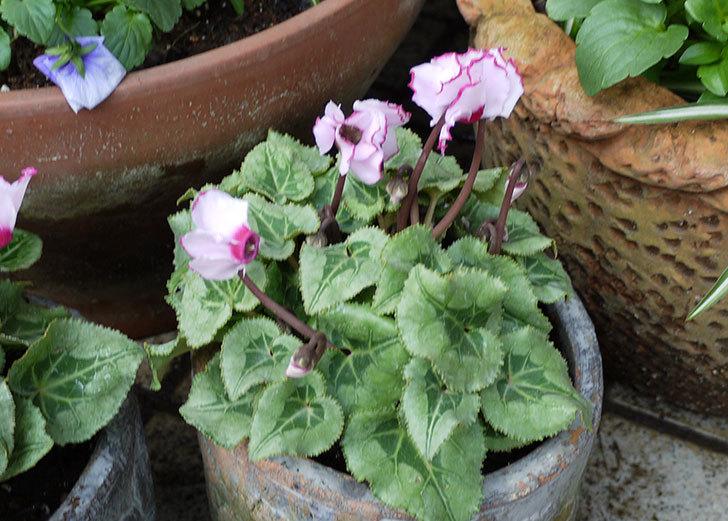 白赤のガーデンシクラメンを鉢に植えた6.jpg