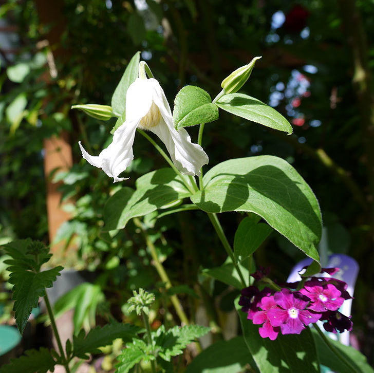 白麗(インテグリフォリア系-新枝咲き-木立性)の花が1個咲いた。2017年-5.jpg