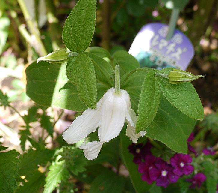 白麗(インテグリフォリア系-新枝咲き-木立性)の花が1個咲いた。2017年-6.jpg