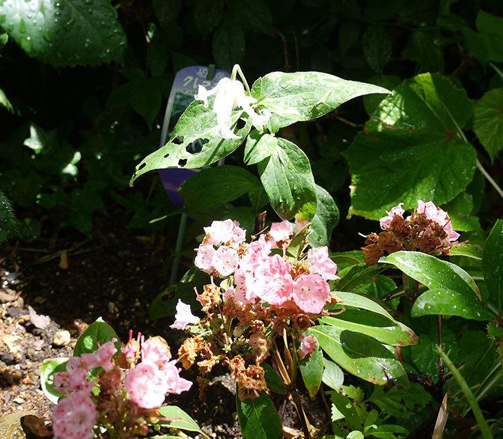 白麗(インテグリフォリア系-新枝咲き-木立性)の花がまた咲いた。2017年-5.jpg