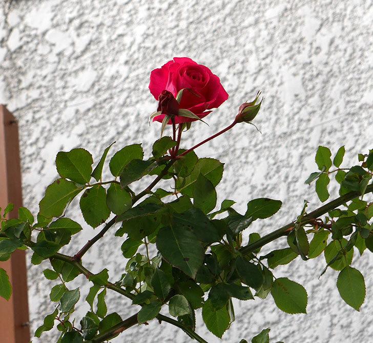 真冬にツルうらら(ツルバラ)が咲いた。2018年-2.jpg
