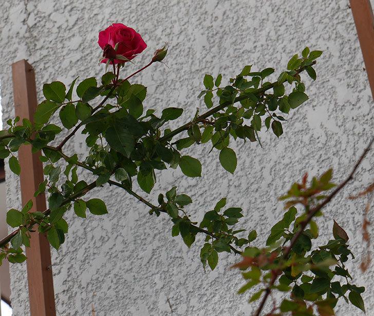真冬にツルうらら(ツルバラ)が咲いた。2018年-3.jpg