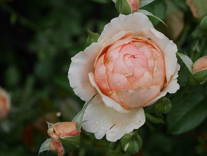 真宙(Masora)の2番花がたくさん咲いた。半ツルバラ。2020年-002.jpg