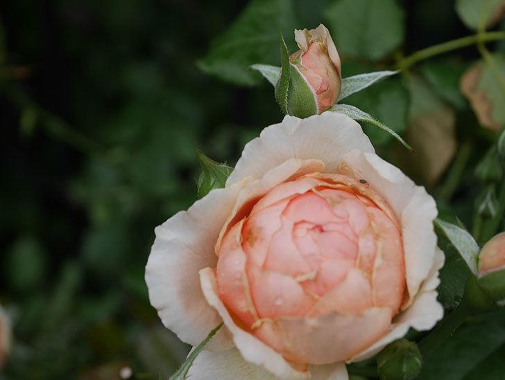 真宙(Masora)の2番花がたくさん咲いた。半ツルバラ。2020年-003.jpg