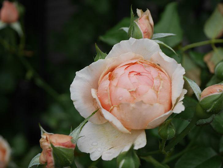 真宙(Masora)の2番花がたくさん咲いた。半ツルバラ。2020年-004.jpg