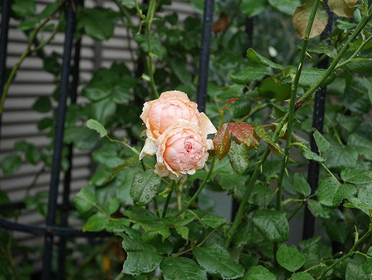 真宙(Masora)の2番花がたくさん咲いた。半ツルバラ。2020年-005.jpg