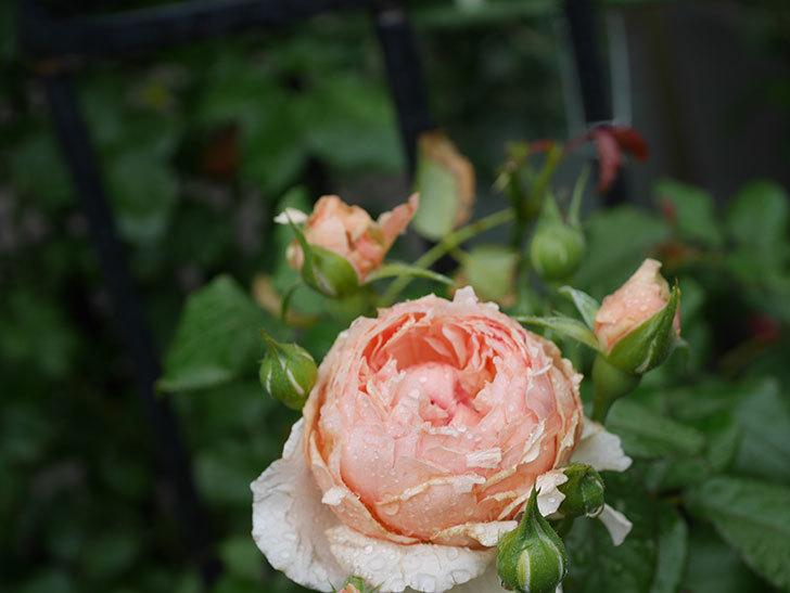 真宙(Masora)の2番花がたくさん咲いた。半ツルバラ。2020年-007.jpg