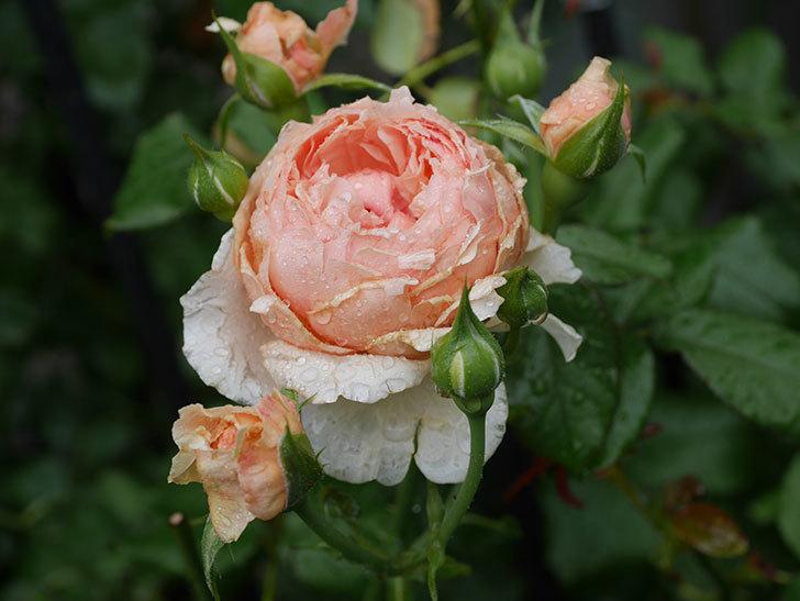 真宙(Masora)の2番花がたくさん咲いた。半ツルバラ。2020年-008.jpg