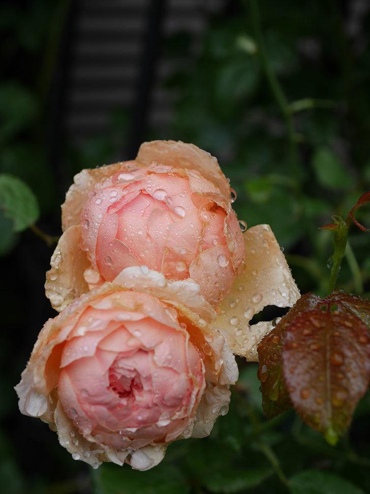 真宙(Masora)の2番花がたくさん咲いた。半ツルバラ。2020年-010.jpg