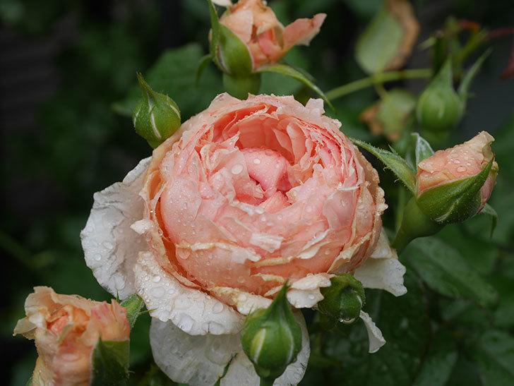 真宙(Masora)の2番花がたくさん咲いた。半ツルバラ。2020年-012.jpg