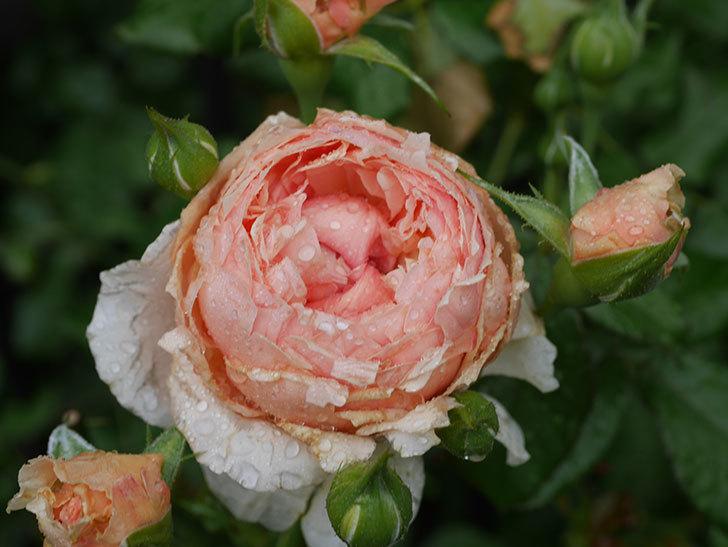 真宙(Masora)の2番花がたくさん咲いた。半ツルバラ。2020年-013.jpg