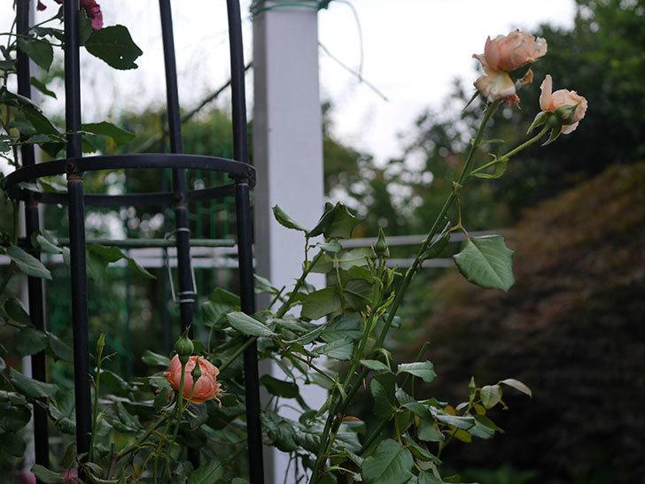 真宙(Masora)の2番花がまた咲いた。半ツルバラ。2020年-001.jpg