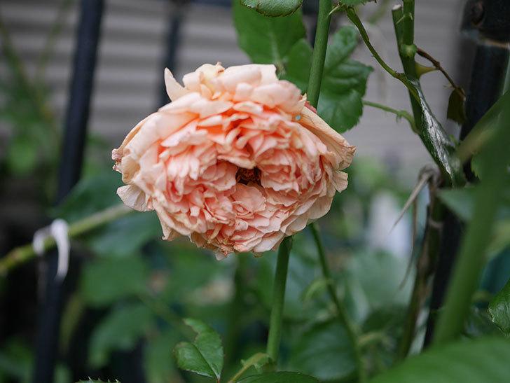 真宙(Masora)の2番花がまた咲いた。半ツルバラ。2020年-002.jpg
