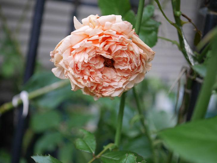 真宙(Masora)の2番花がまた咲いた。半ツルバラ。2020年-003.jpg