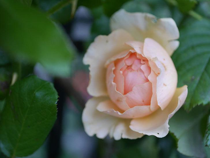 真宙(Masora)の2番花がまた咲いた。半ツルバラ。2020年-004.jpg