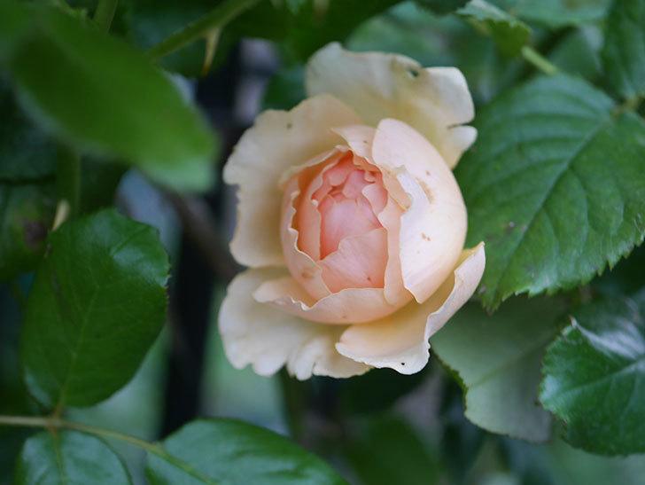 真宙(Masora)の2番花がまた咲いた。半ツルバラ。2020年-005.jpg