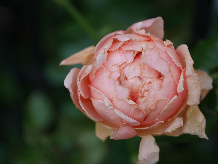 真宙(Masora)の2番花がまた咲いた。半ツルバラ。2020年-006.jpg