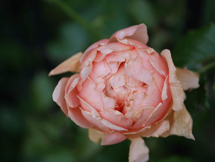 真宙(Masora)の2番花がまた咲いた。半ツルバラ。2020年-007.jpg