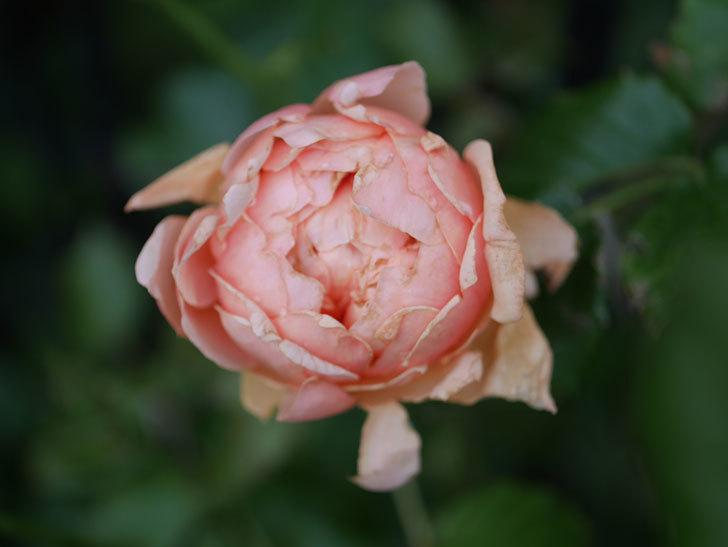 真宙(Masora)の2番花がまた咲いた。半ツルバラ。2020年-008.jpg