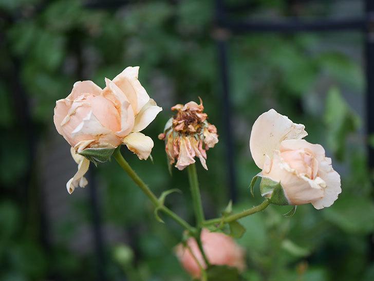 真宙(Masora)の2番花がまた咲いた。半ツルバラ。2020年-009.jpg