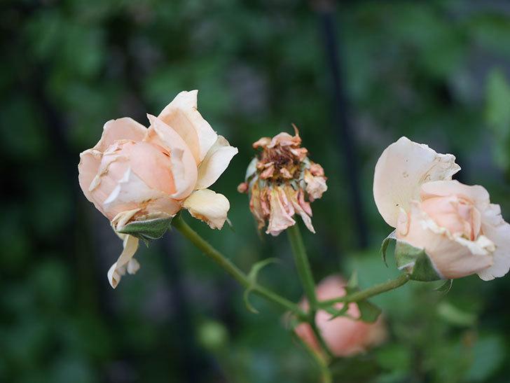 真宙(Masora)の2番花がまた咲いた。半ツルバラ。2020年-010.jpg