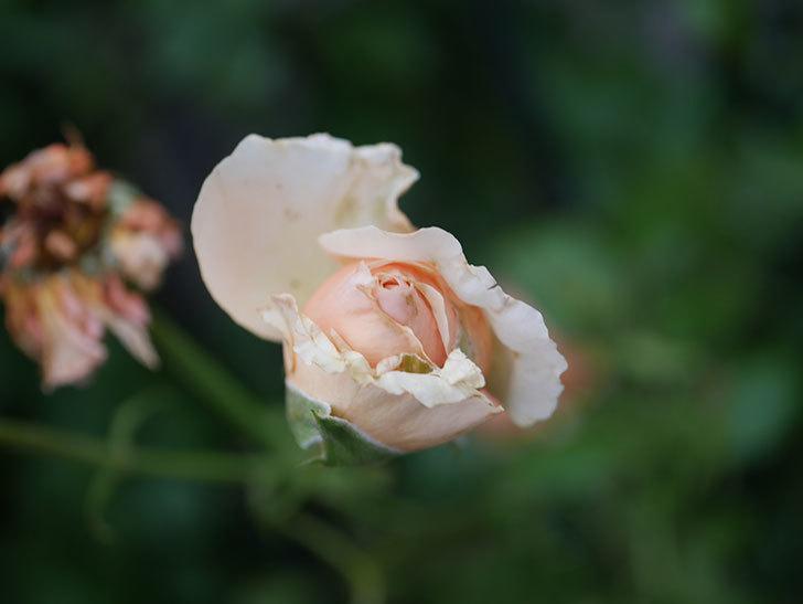 真宙(Masora)の2番花がまた咲いた。半ツルバラ。2020年-011.jpg