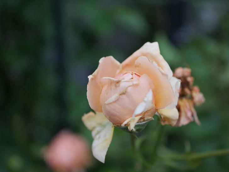 真宙(Masora)の2番花がまた咲いた。半ツルバラ。2020年-012.jpg