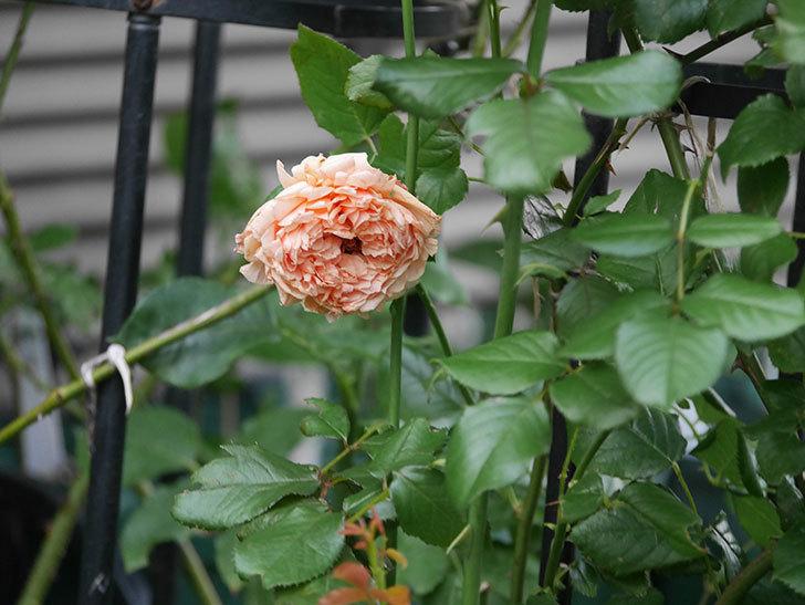 真宙(Masora)の2番花がまた咲いた。半ツルバラ。2020年-013.jpg