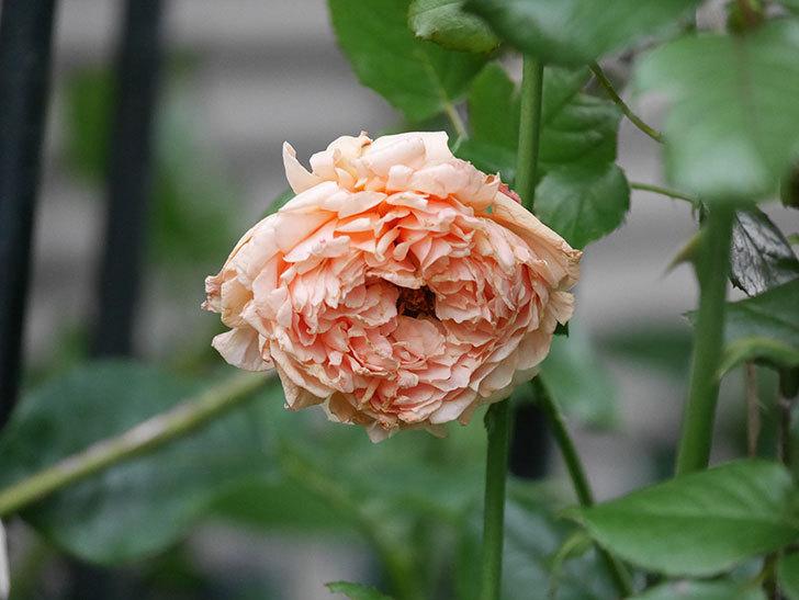 真宙(Masora)の2番花がまた咲いた。半ツルバラ。2020年-014.jpg