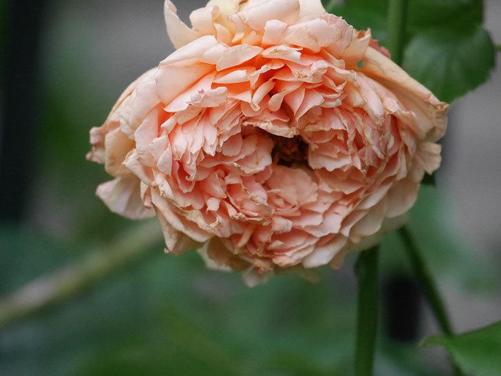 真宙(Masora)の2番花がまた咲いた。半ツルバラ。2020年-015.jpg
