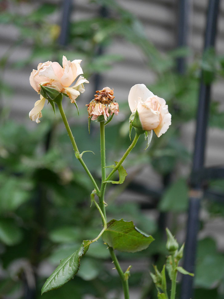 真宙(Masora)の2番花がまた咲いた。半ツルバラ。2020年-017.jpg