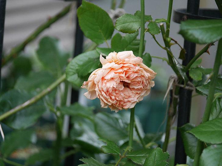 真宙(Masora)の2番花がまた咲いた。半ツルバラ。2020年-018.jpg