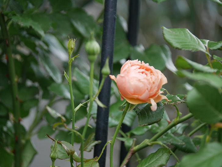 真宙(Masora)の2番花がまた咲いた。半ツルバラ。2020年-019.jpg