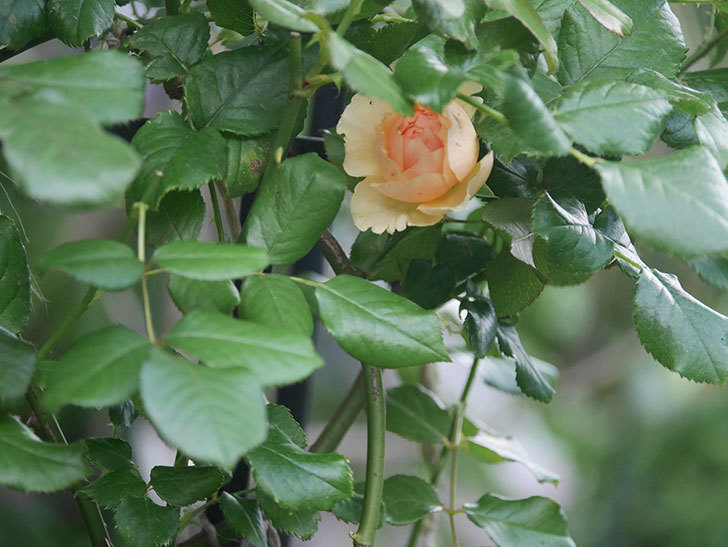 真宙(Masora)の2番花がまた咲いた。半ツルバラ。2020年-020.jpg