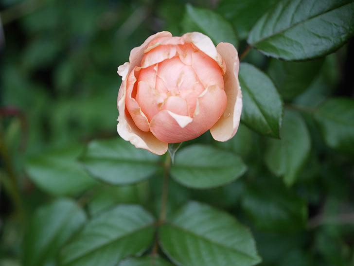 真宙(Masora)の2番花が咲いた。半ツルバラ。2020年-001.jpg