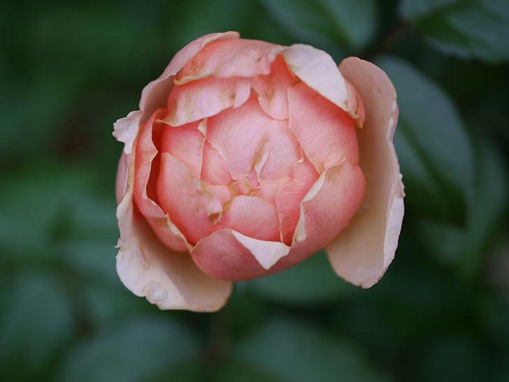 真宙(Masora)の2番花が咲いた。半ツルバラ。2020年-002.jpg