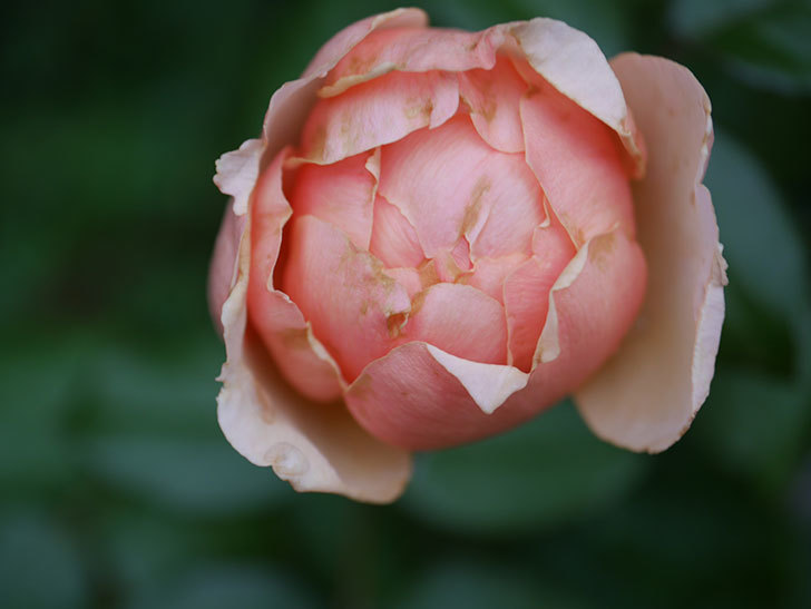 真宙(Masora)の2番花が咲いた。半ツルバラ。2020年-003.jpg