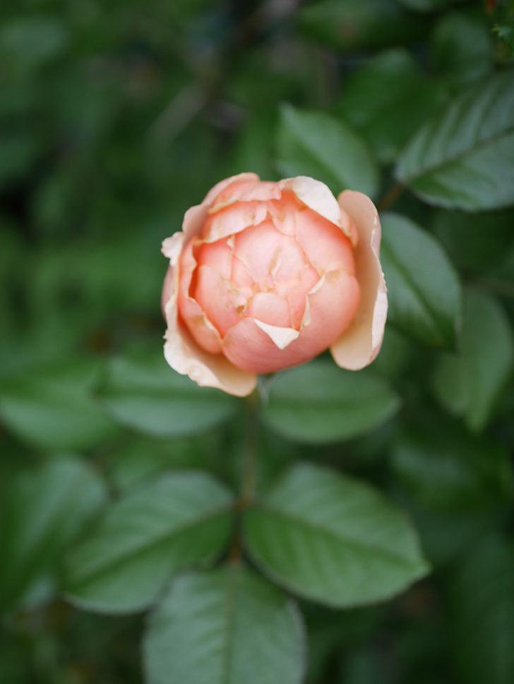真宙(Masora)の2番花が咲いた。半ツルバラ。2020年-005.jpg