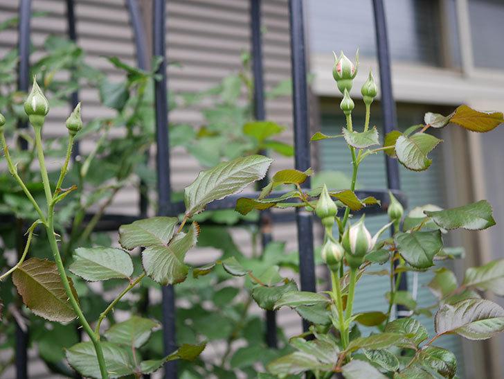 真宙(Masora)の2番花が咲いた。半ツルバラ。2020年-006.jpg