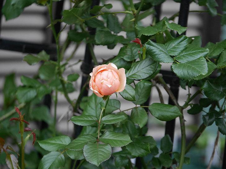 真宙(Masora)の2番花が咲いた。半ツルバラ。2020年-007.jpg