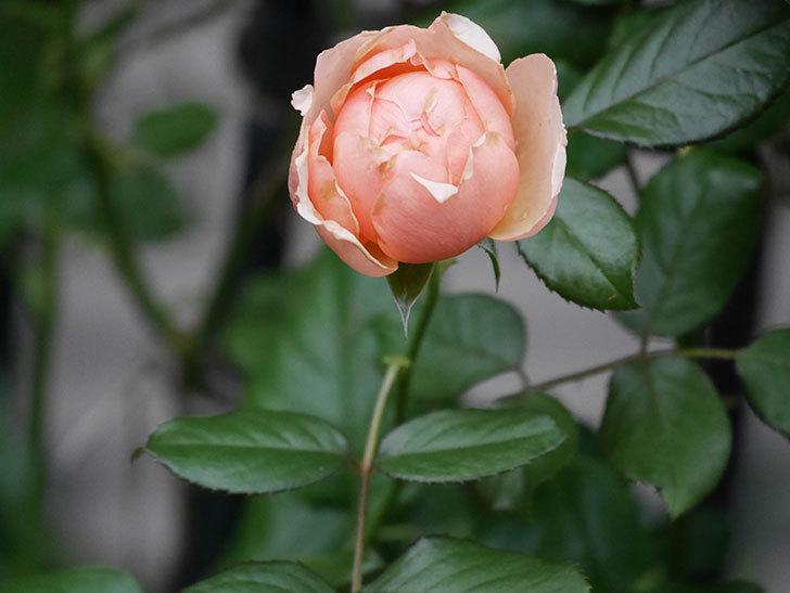真宙(Masora)の2番花が咲いた。半ツルバラ。2020年-008.jpg
